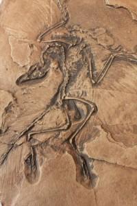 始祖鳥のレプリカ標本