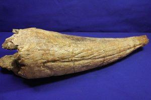 トリケラトプスの本物角化石